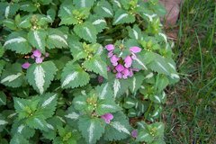 Purple Lamium Ground Cover in Glendale Heights, Illinois
