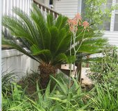 3 LARGE Sago Palms (trimmed)  & Small Sago's in Pots in Conroe, Texas